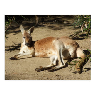 Kangaroo Postcard