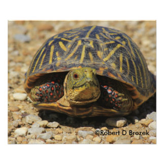 Kansas Box Shell Turtle Photo Enlargement
