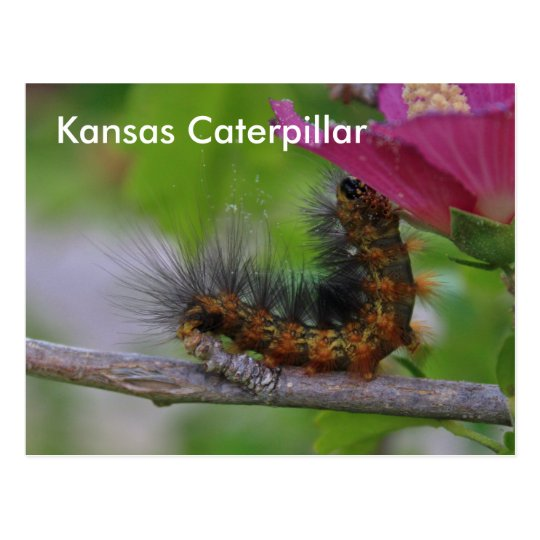 Kansas Caterpillar closeup POST CARD