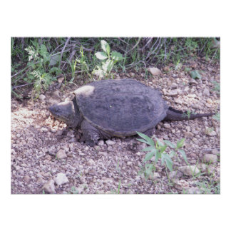 Kansas Snapping Turtle Poster