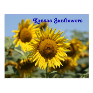 Kansas Sunflowers POST CARD