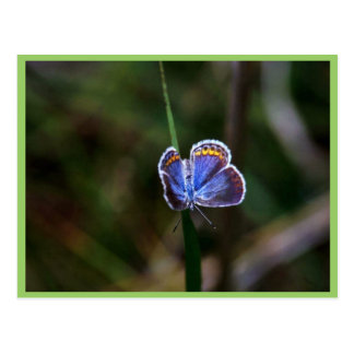 Karner Blue Butterfly Postcard