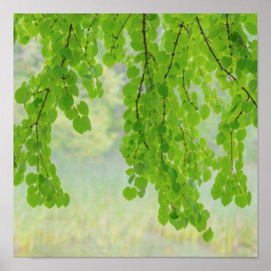 Katsura Tree Limbs in Springtime | Seabeck, WA Poster