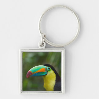 Keel-billed toucan on tree branch, Panama Keychain