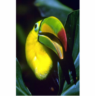 Keel-billed toucan acrylic cut outs