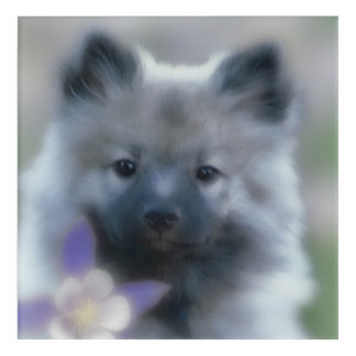Keeshond with Columbine Acrylic Wall Art