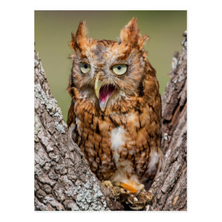 Kendall County, Texas. Eastern Screech-Owl 2 Postcard