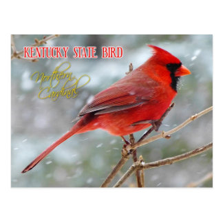 Kentucky State Bird - Northern Cardinal Postcard