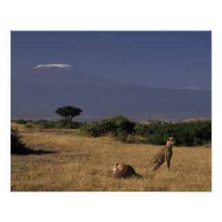 Kenya: Amboseli, two cheetahs ('Acinonyx Poster