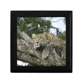 Kenya Leopard Tree Africa Safari Animal Wild Cat Gift Box