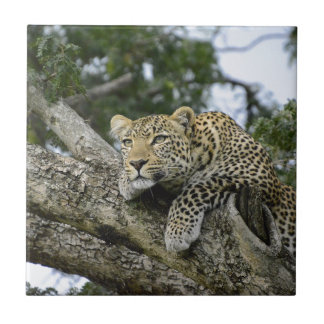 Kenya Leopard Tree Africa Safari Animal Wild Cat Tile