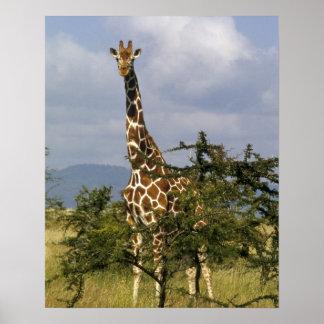 Kenya: Lewa Wildlife Conservancy, reticulated Poster