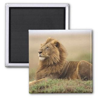 Kenya, Masai Mara. Adult male lion on termite Square Magnet