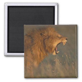 Kenya, Masai Mara Game Reserve, Adult male Lion Square Magnet