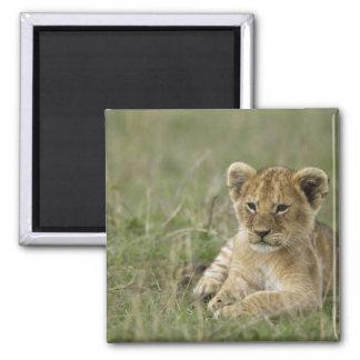 Kenya, Masai Mara Game Reserve. African Lion Square Magnet