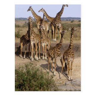 Kenya: Masai Mara Game Reserve herd of one dozen Postcard