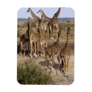 Kenya: Masai Mara Game Reserve herd of one dozen Rectangular Photo Magnet