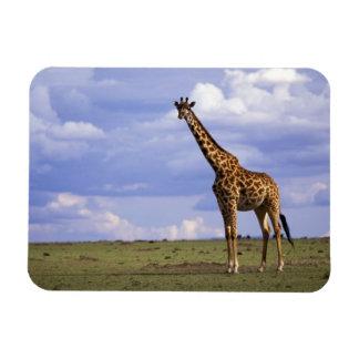 Kenya, Masai Mara Game Reserve. Kenyan Giraffe Rectangular Photo Magnet