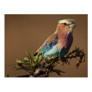 Kenya, Masai Mara Game Reserve. Lilac-breasted Postcard