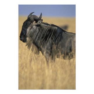 Kenya, Masai Mara Game Reserve, Wildebeest Photo Art