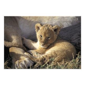 Kenya, Masai Mara. Six week old Lion cub Photo Print