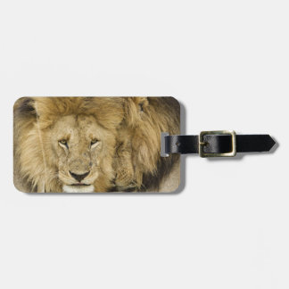 Kenya, Masai Mara. Two lions resting face to Luggage Tag