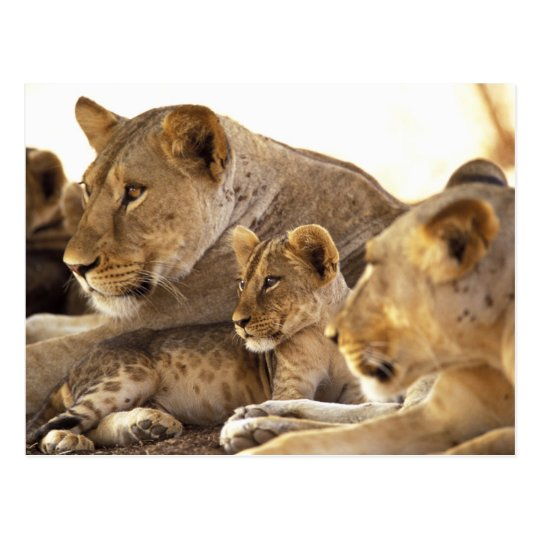Kenya, Samburu National Game Reserve. Lion cub 2 Postcard