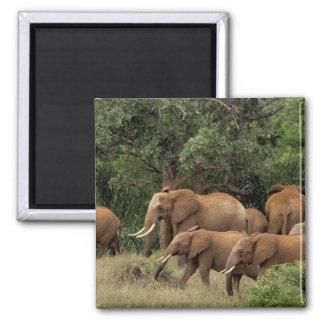 Kenya: Tsavo East National Park, herd African Square Magnet