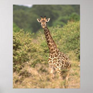 Kenyan giraffe poster