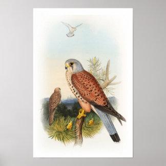 Kestrel Falcon John Gould Birds of Great Britain Poster