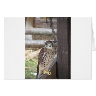 Kestrel perched on a fence post card