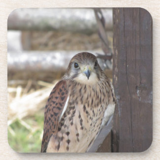 Kestrel perched on a fence post coaster