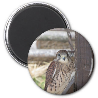 Kestrel perched on a fence post magnet