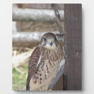 Kestrel perched on a fence post plaque