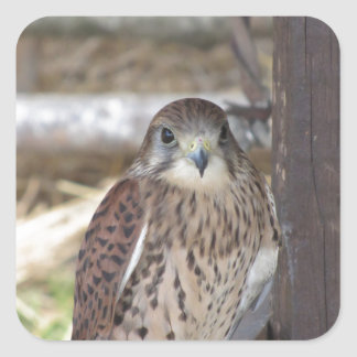 Kestrel perched on a fence post square sticker