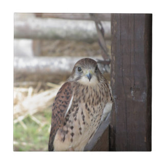 Kestrel perched on a fence post tile