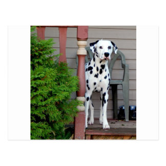 Kevin the Dalmatian Postcard