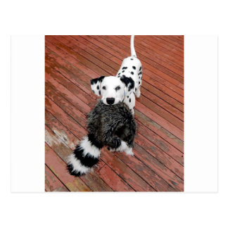 Kevin the Dalmatian Postcard