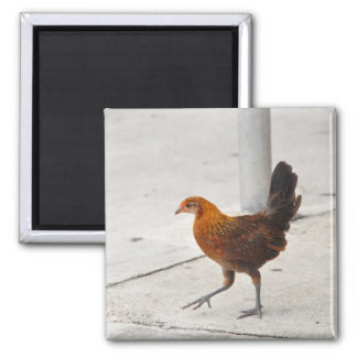 Key West Chicken On Sidewalk Florida Magnet