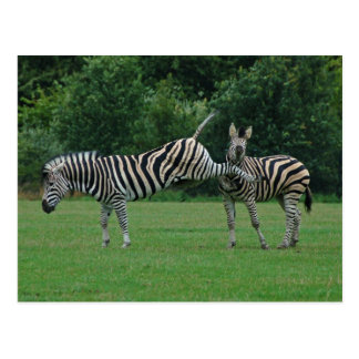 Kicking zebra postcard