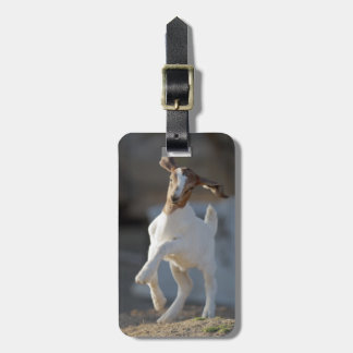 Kid goat playing in ground. luggage tag