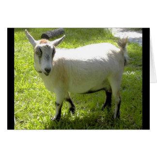 Kiki the Pygmy Goat greeting card
