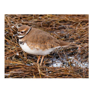 Killdeer in the Freezing Mudflats Postcard
