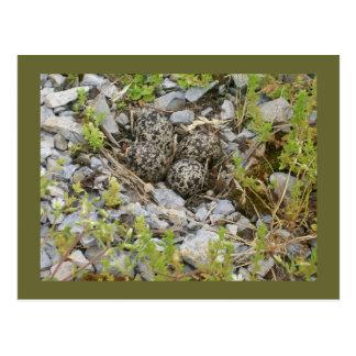 Killdeer Nest Postcard