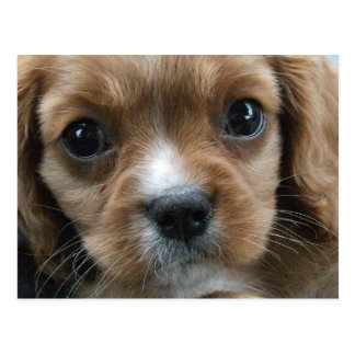 King Charles Spaniel Puppy Face Close-up Postcard