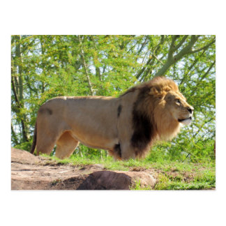 King of the Jungle Postcard (Lion)