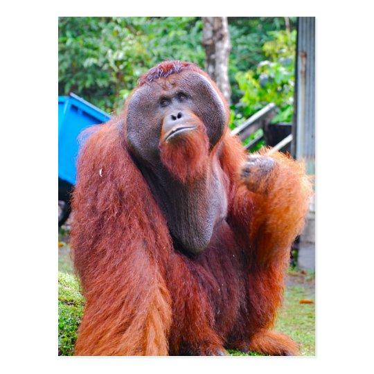 King Orangutan Tom at Camp Leakey Postcard