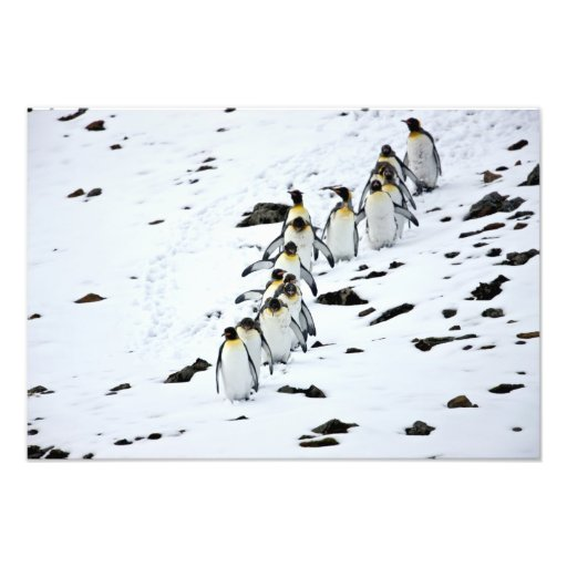 King Penguin Aptenodytes patagonicus) group Photographic Print