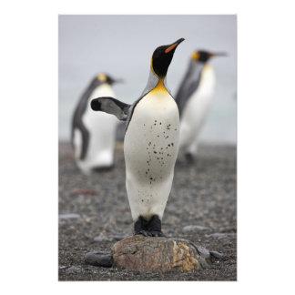 King Penguin Aptenodytes patagonicus) on Photo Art