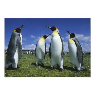 King Penguin, Aptenodytes patagonicus), Photo